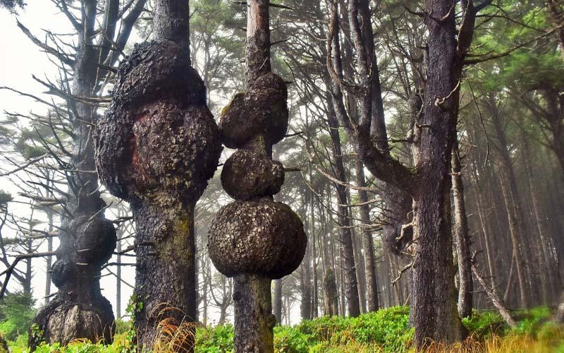 Buri Wood Size