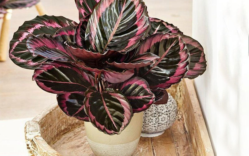Calathea roseopicta leaves and flower
