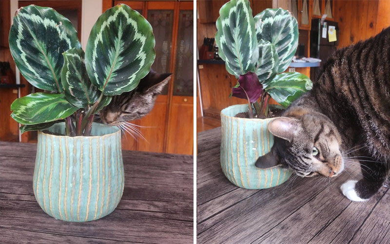 Is calathea roseopicta toxic to cats and dogs