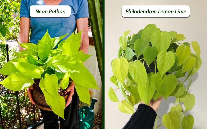 Philodendron cordatum lemon lime vs. neon