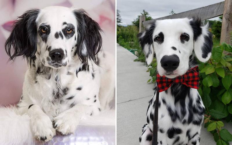 Puppies dalmatians