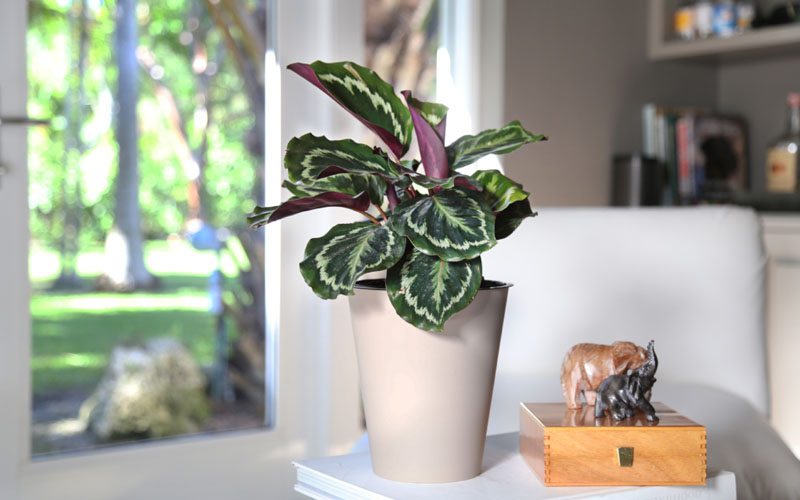 best place to keep Calathea Roseopicta