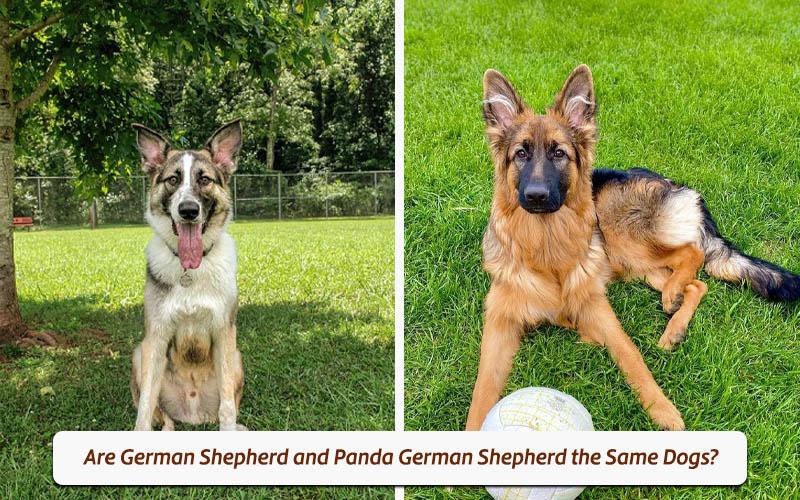 piebald colored german shepherd