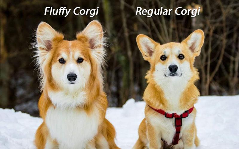 fluffy corgi vs regular corgi