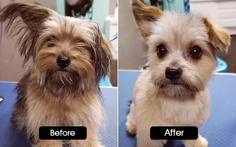 morkie poo haircuts
