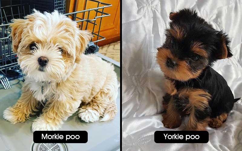 morkie vs yorkie