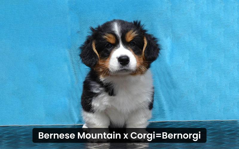 Bernese-mountain-corgi-mix
