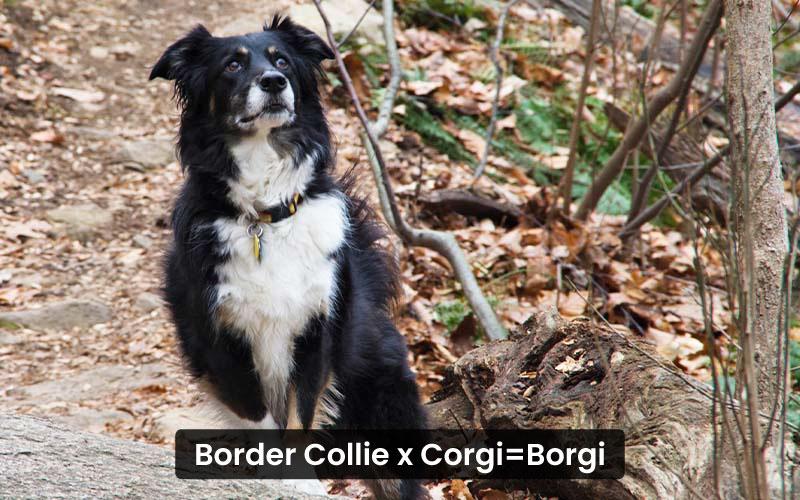 Border Collie Corgi Mix – Borgi