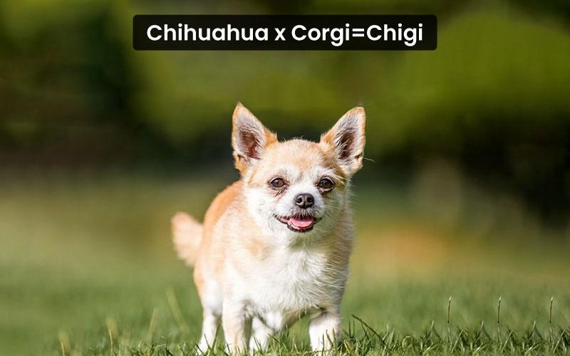 Chihuahua Corgi Mix – Chigi