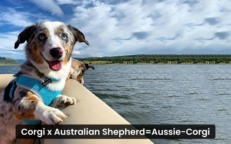 Corgi Australian Shepherd Mix - Aussie-Corgi