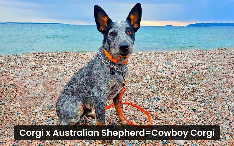Corgi Australian shepherd mix- Cowboy Corgi