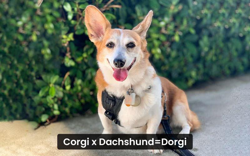 Corgi Dachshund Mix – Dorgi