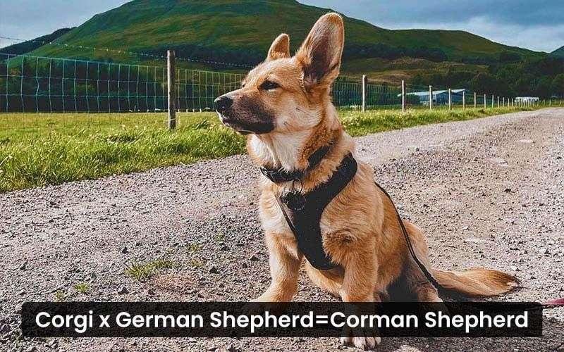 Corgi-German-Shepherd-Mix---Corman-Shepherd