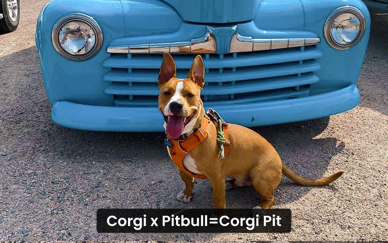 Corgi-Pitbull-Mix-–-Corgi-Pit