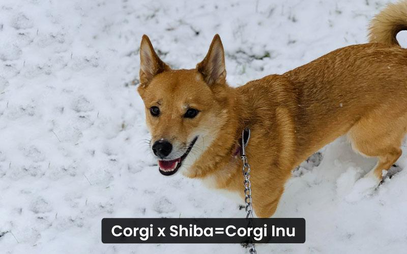 Corgi Shiba Mix –Corgi Inu