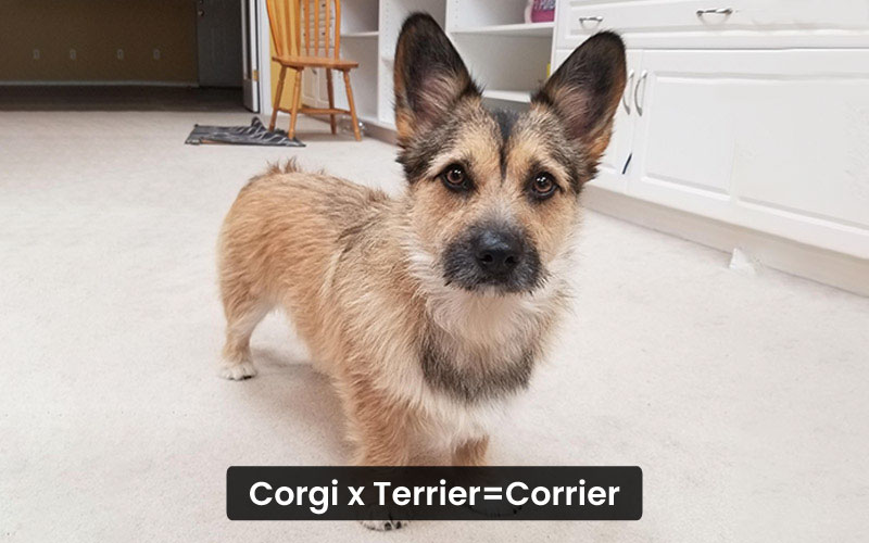 Corgi Terrier Mix