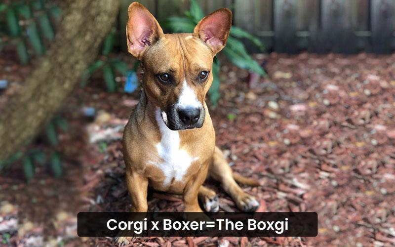 Corgi boxer mix – Coxer
