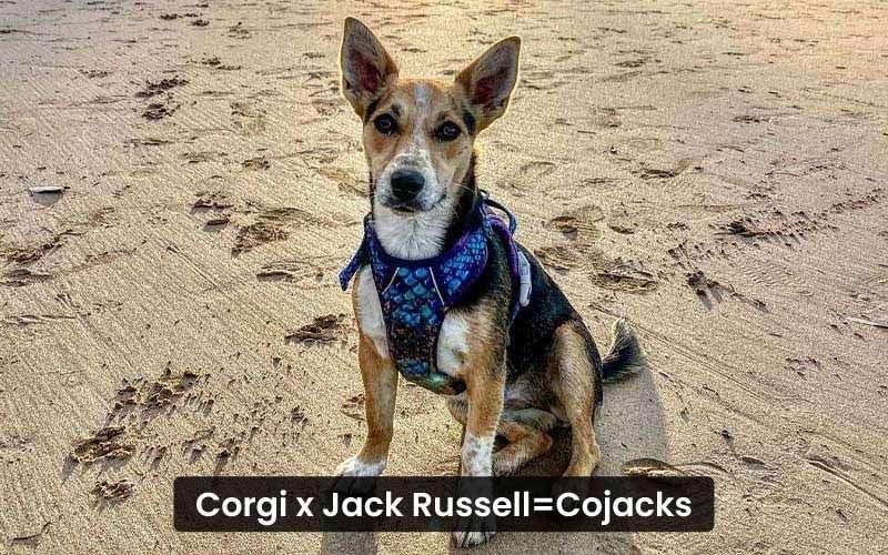 Corgi-jack-Russell-mix