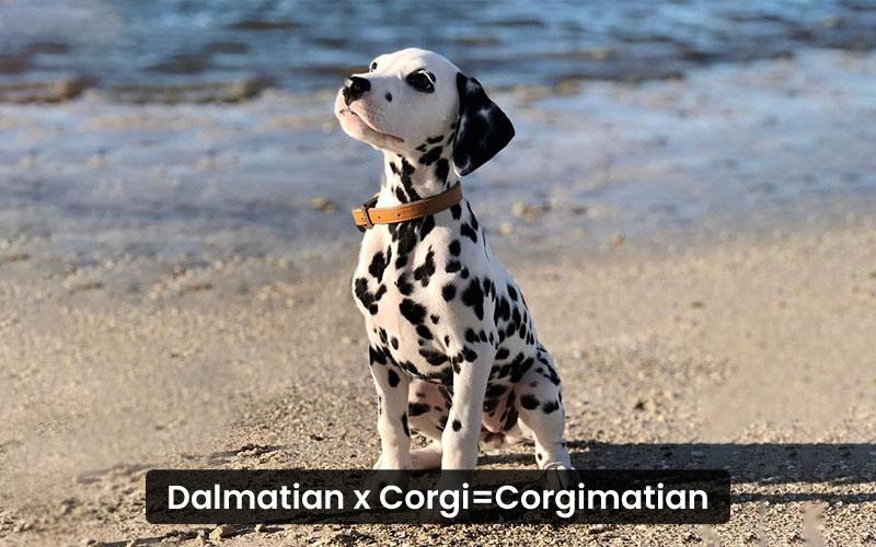 Dalmatian corgi mix