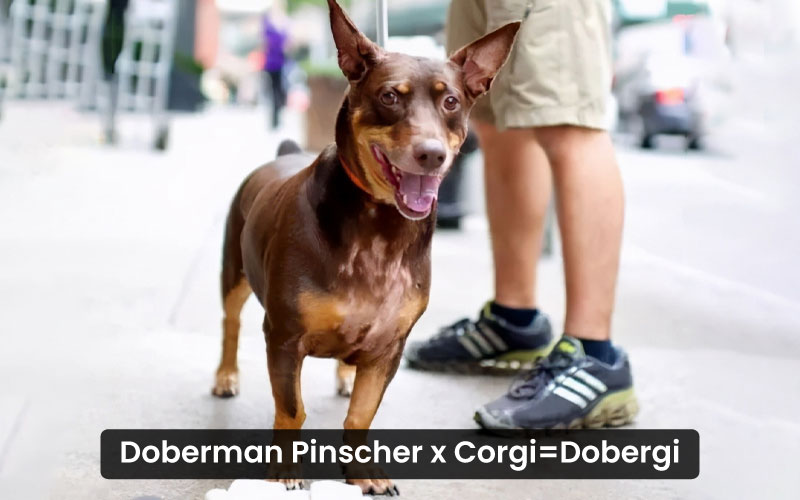 Doberman Pinscher Corgi mix