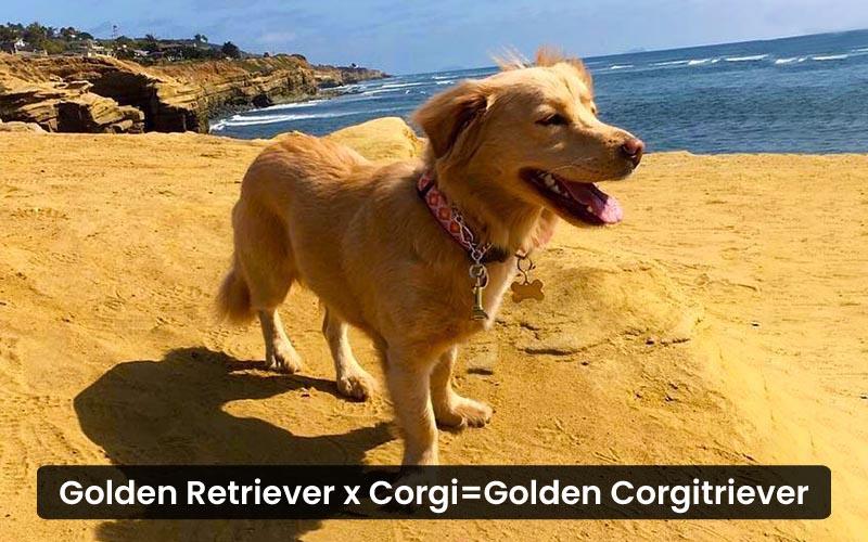 Golden-Retriever-Corgi-Mix---Golden-Corgitriever