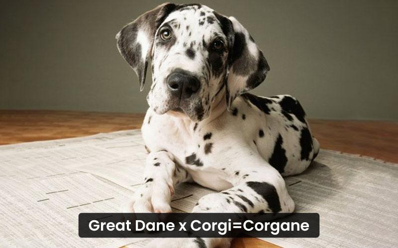 Great Dane Corgi Mix – Corgane