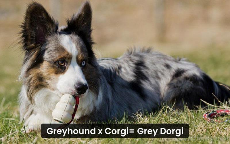 Greyhound-corgi-mix