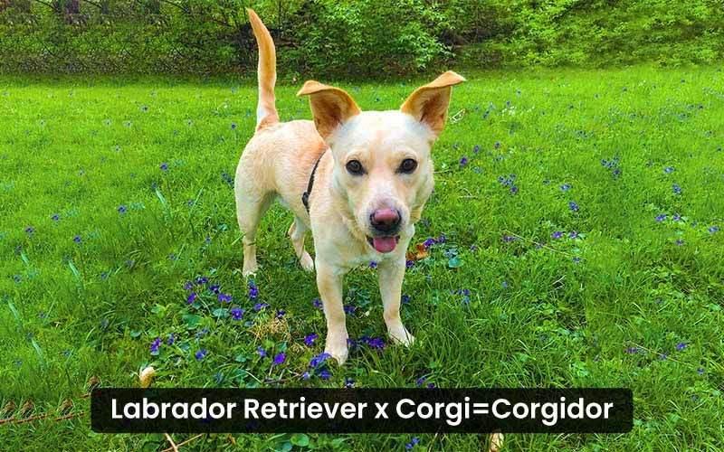 Labrador-Retriever-Corgi-mix----Corgidor
