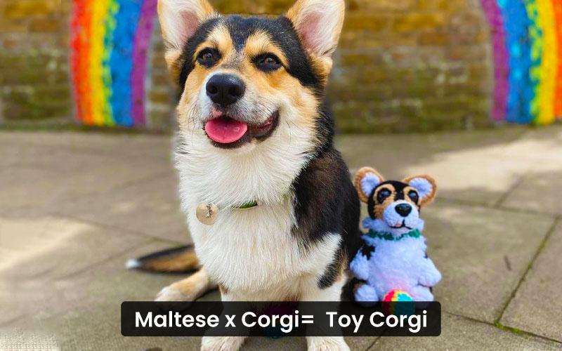 Maltese-Corgi-mix-–-Toy-corgi