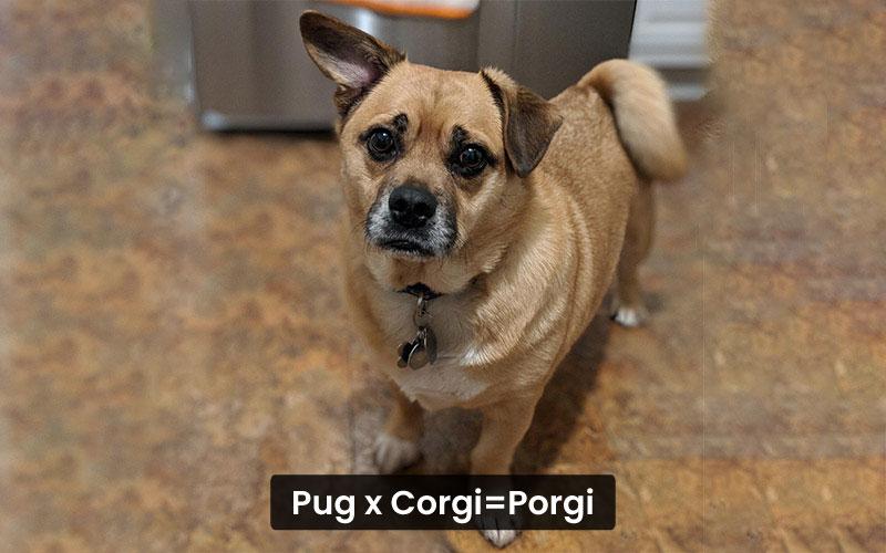 Pug Corgi Mix – Porgi