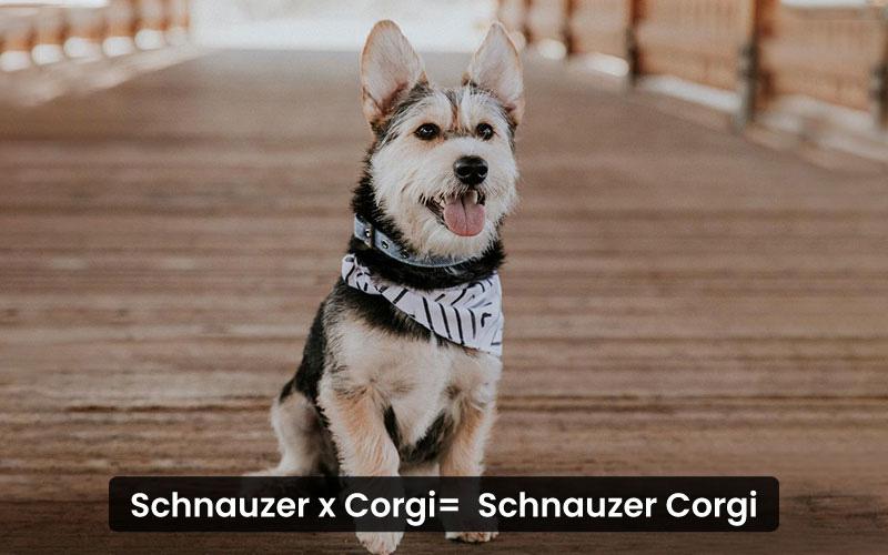 Schnauzer-Corgi