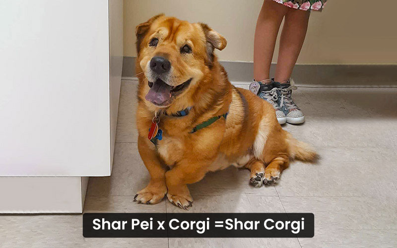 Shar Pei corgi mix – shar corgi