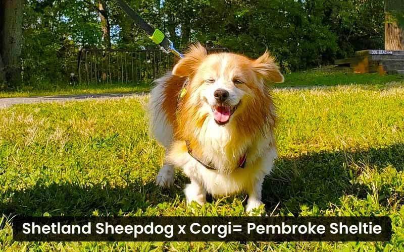 Shetland-Sheepdog-Corgi-mix