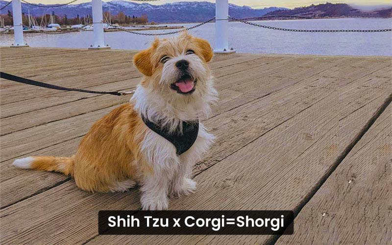Shih Tzu corgi mix