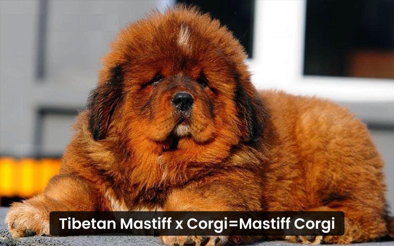 Tibetan mastiff corgi mix